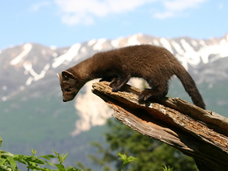The pine marten may look cuddly - but it's no such thing, specially if you're a grey squirrel. But lighter, more agile reds fare rather better. Photo: Thomas Broxton Jr via Flickr (CC BY).