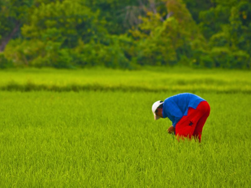 Golden rice may be a marvel of modern technology, but it is consistently outperformed in the field by native varieties. Photo: traditional rice farmer at Budid, Philippines, by Shan Sheehan via Flickr (CC BY).