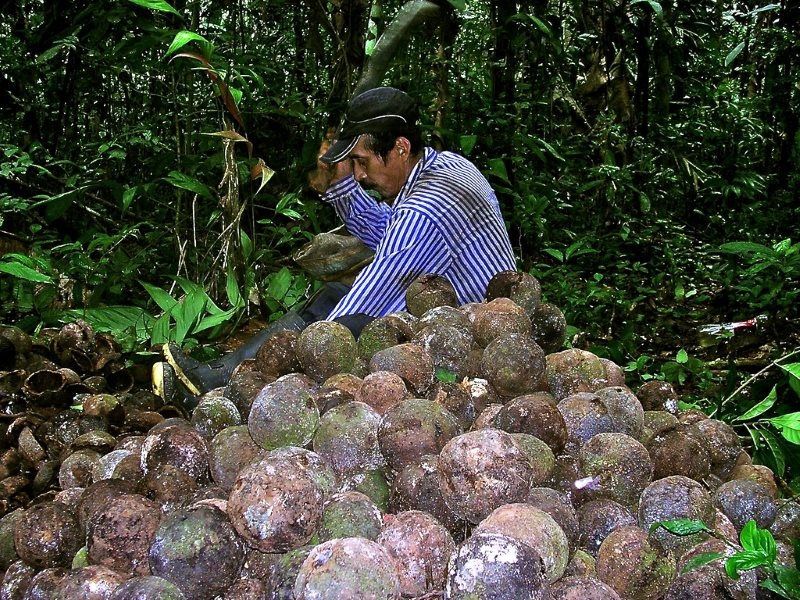 The market may value Brazil nuts, as do those who earn a living by gathering them. But that has done little to hold back the Amazon's deforestation. Brazil nut collector in Pando, Bolivia. Photo: Amy Duchelle / CIFOR.
