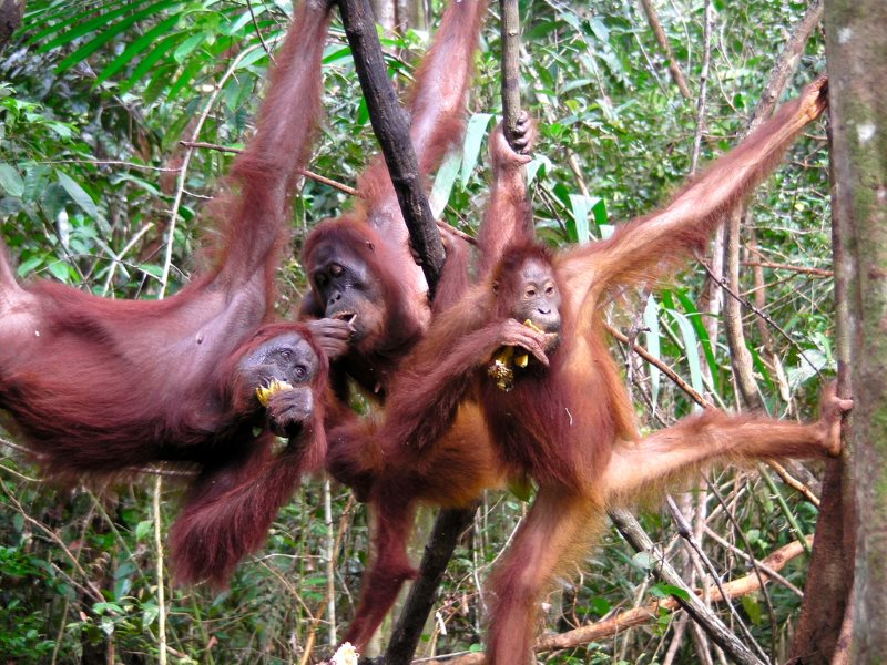 Just hanging ... Orangutan trio enjoying bananas at Pesalat Rehabilitation Center, Central Kalimantan, Indonesia. Photo: Rainforest Action Network via Flickr (CC BY-NC).