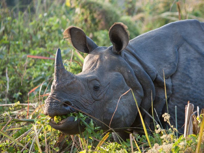 Some rhinos are more equal than others ... and this Asian Rhino in the Chitwan National Park, Nepal is, it appears, less equal than its African cousins. Photo: Joshua Alan Davis via Flickr (CC BY-NC-SA).