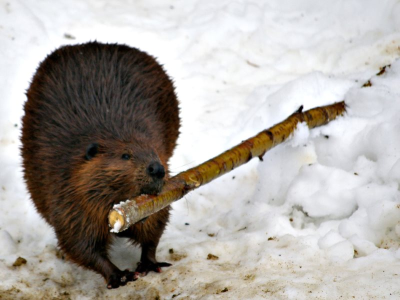 A beaver's services to landscape and wetland management are worth $120,000 a year, according to today's Earth Index.