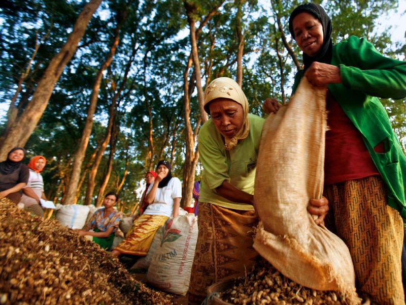 Women in Jepara's teak forest area harvest ground nuts, Central Java, Indonesia, June, 2009. Photo: Murdani Usman / Center for International Forestry Research (CIFOR).