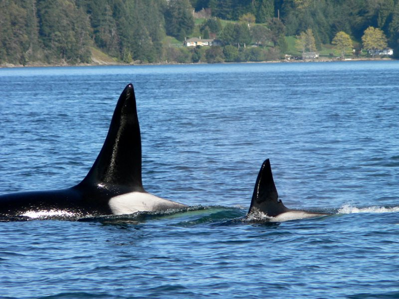 Orca watching in Puget Sound with Jim Maya. Photo: Robbert Michel via Flickr (CC BY-NC-ND).