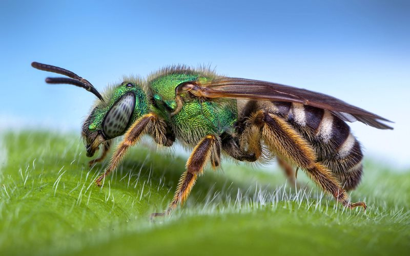 Female Agapostemon sp. sweat bee, Oregon, USA. Photo: Thomas Shahan via Flickr (CC BY-NC-ND).