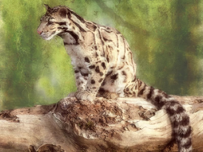 Formosan Clouded Leopard ... RIP. Despite 1,500 infrared cameras and scent traps being placed in the Taiwanese mountains since 2001, no trace of the animal has been detected. Image: Hank Conner via Flickr (CC BY-NC-SA).