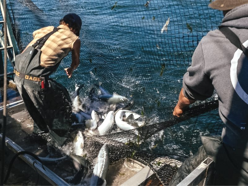 Drawing in the catch. Photo: Lummi Island Wild.