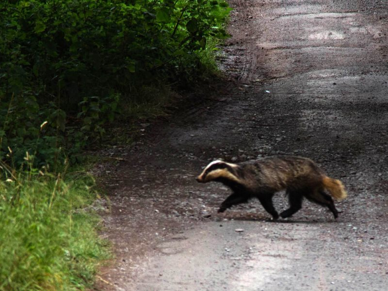 Why did the badger cross the road? Maybe to get away from an Environment Secretary on a personal mission of death and destruction to Britain's wildlife. Photo: Badger in the Quantock Hills of Somerset by Mark Robinson via Flickr (CC BY-NC).