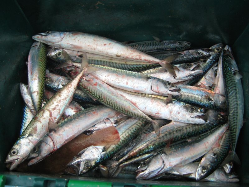 A nice box of mackerel brought in from the seas off Newhaven, July 2012. Photo: Rachel Clarke via Flickr (CC BY-NC).
