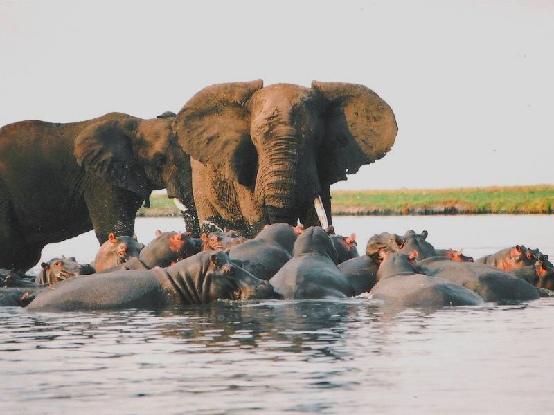 Last time the world was this warm, 130,000 years ago, scenes like this were playing out in the Thames Valley. Elephants bullying hippos in Chobe National Park, Botswana. Photo: Andrew Napier via Flickr (CC BY).