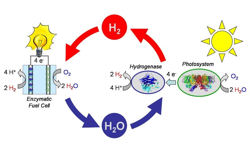 A schematic of how hydrogenase catalyst can be used reversibly to produce hydrogen, and 'burn' it in a fuel cell. Image: Department of Microbiology, Faculty of Biology, Humboldt University, Berlin.