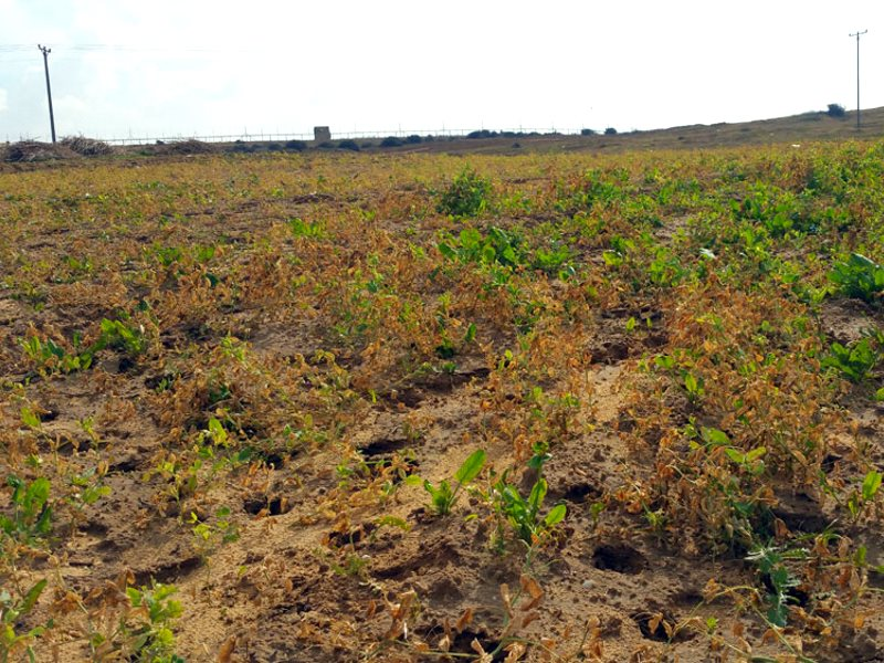 Field damaged by Israel's spraying of crops within Gaza, 31 December 2015. Photo: Khaled al-'Azayzeh, B'Tselem.