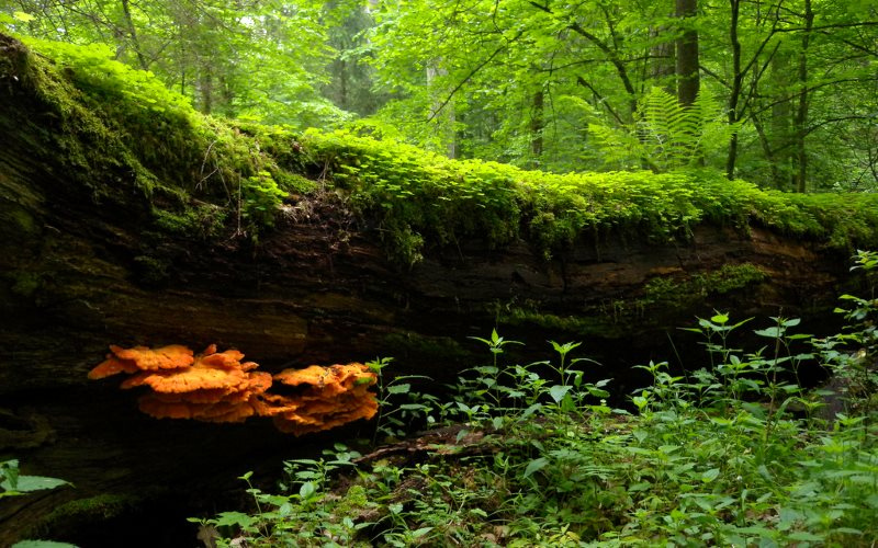 A fallen tree in the Bialowieza National Park, Poland. The orange mushroom (Laetiporus sulphureus) in front is edible and known as 'chicken of the woods'. Photo: Frank Vassen via Flickr (CC BY).