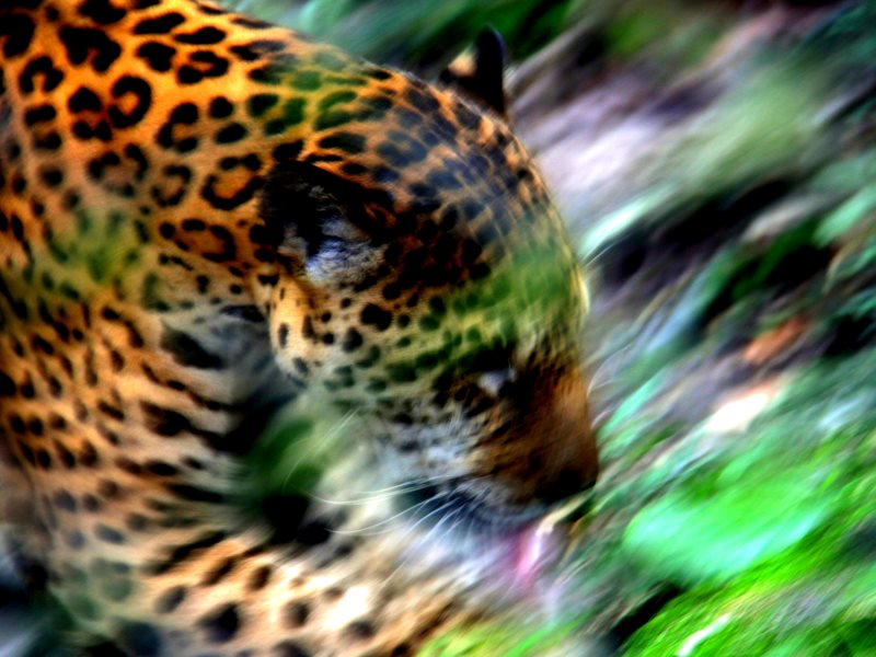 Jaguar at Pilpintuwasi, near Iquitos in the Peruvian Amazon. Photo: worldsurfr via Flickr (CC BY-NC-ND).