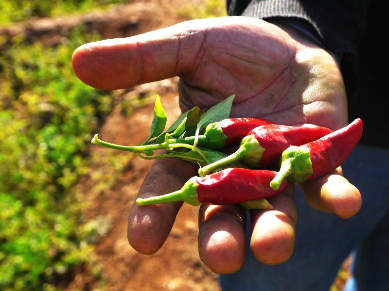 Red chilis grown by a traditional small-scale farmer in Morocco. Photo: Ali JAFRI via Flickr (CC BY-NC-SA).