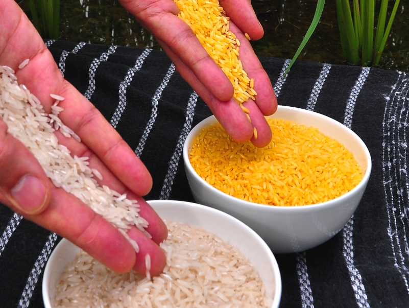 Golden rice is an example of GM which has failed to deliver what has been promised. International Rice Research Institute (IRRI) via Flickr (CC BY-NC-SA)