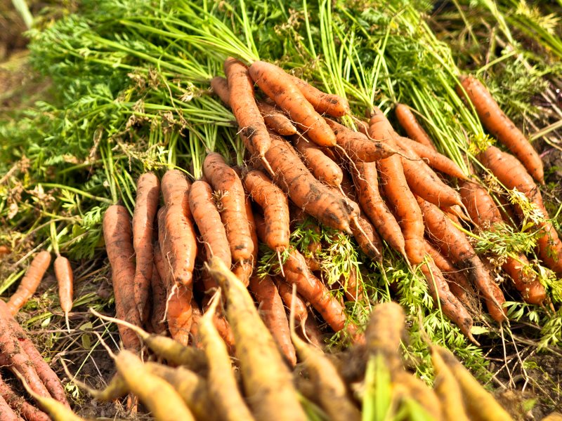 Organic carrots on a New England farm, USA. Photo: Sandor Weisz via Flickr (CC BY-NC).