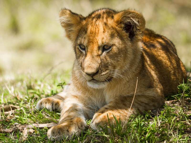 A young lion cub resting in Massai Mara National reserve, Kenya. Photo: Ralf Κλενγελ via Flickr (CC BY-NC)