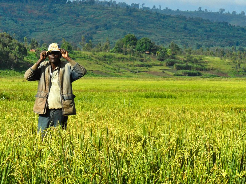 A farmer stands amidst a rice farm in Burundi, Africa. Photo: IRRI via Flickr (CC BY-NC-SA).