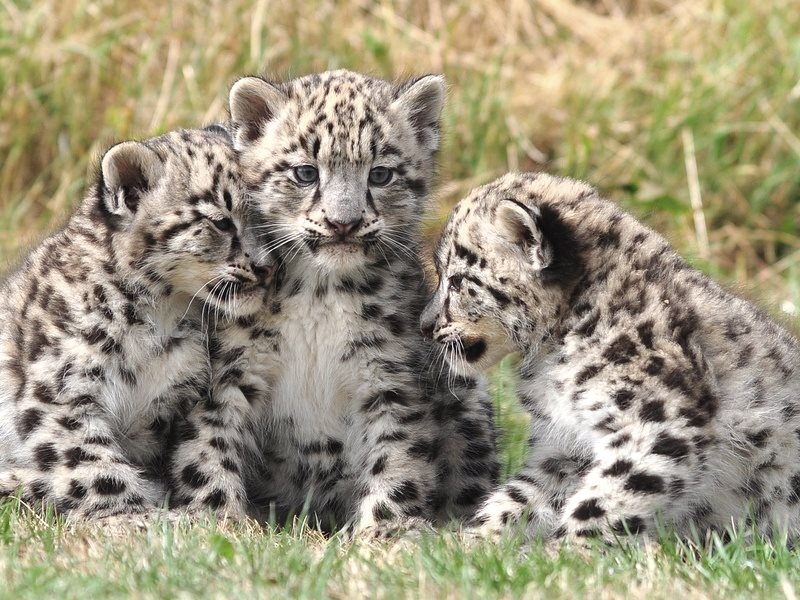 So cute! Two month old snow leopard cubs at the Cat Survival Trust in Welwyn, Hertfordshire, UK. Photo: dingopup via Flickr (CC BY-SA).