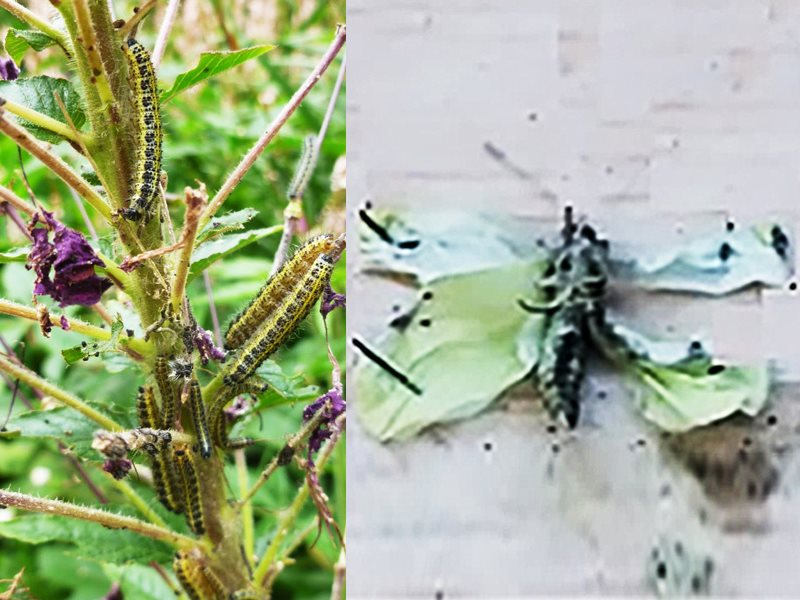 Cabbage white butterflies eating the leaves, flowers and pods of a plant similar to Camelina, together with a deformed butterfly that been fed a diet rich in long chain n-3 fatty acids. Compound image by GMWatch & edited by The Ecologist.