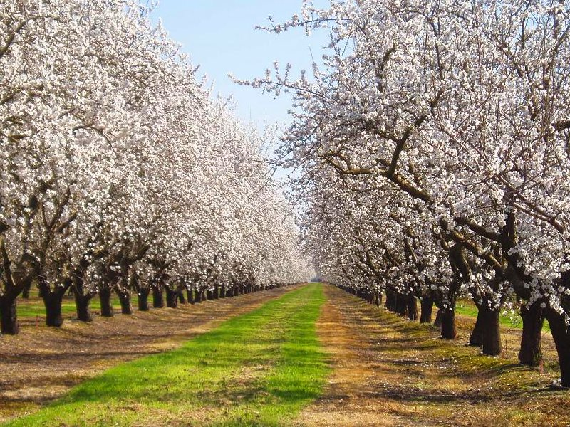 Commercial almond orchards in the US receive some 2.1 million pounds of glyphosate a year - hence the strips of bare earth beneath these trees near Vernalis, along 132 west of Modesto, CA. Photo: Tom Hilton via Flickr (CC BY).