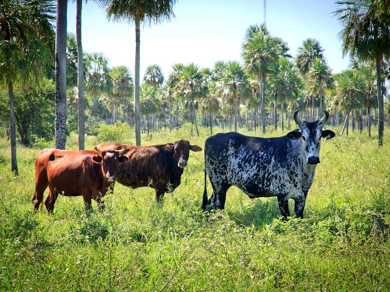 There are 300,000 landless 'family farmers' in Paraguay - but there's always plenty of pasture for the cattle of the latifundistas who own most of the land. Photo: Pozo Colorado, Paraguay by Arcadiuš via Flickr (CC BY).