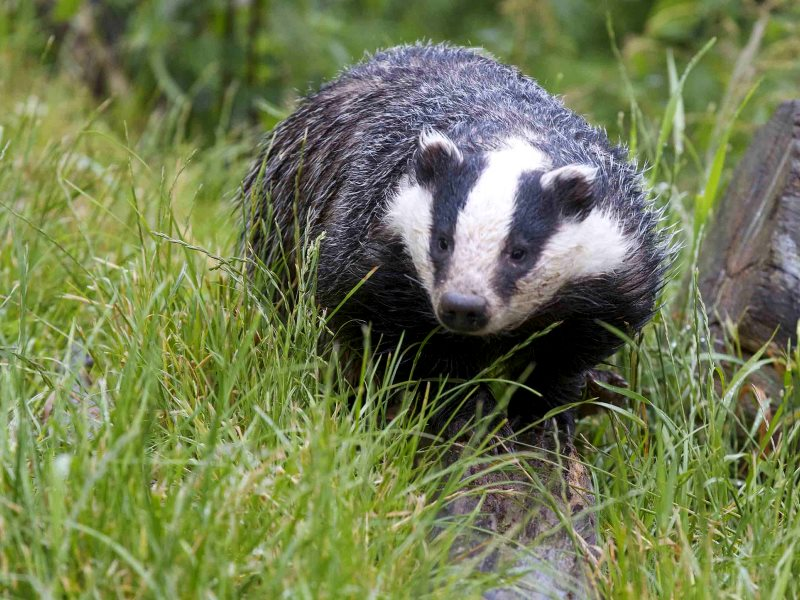 Might England's badgers finally be getting lucky? Don't count on it. Photo: Andrew 3457 via Flickr (CC BY).