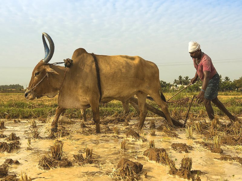 The yoke of direct colonial rule in India has been replaced with a new system of oppression and exploitation - this time by and for agribusiness corporations and transnational capital. Photo: Kannan Muthuraman via Flickr (CC BY-NC-ND).