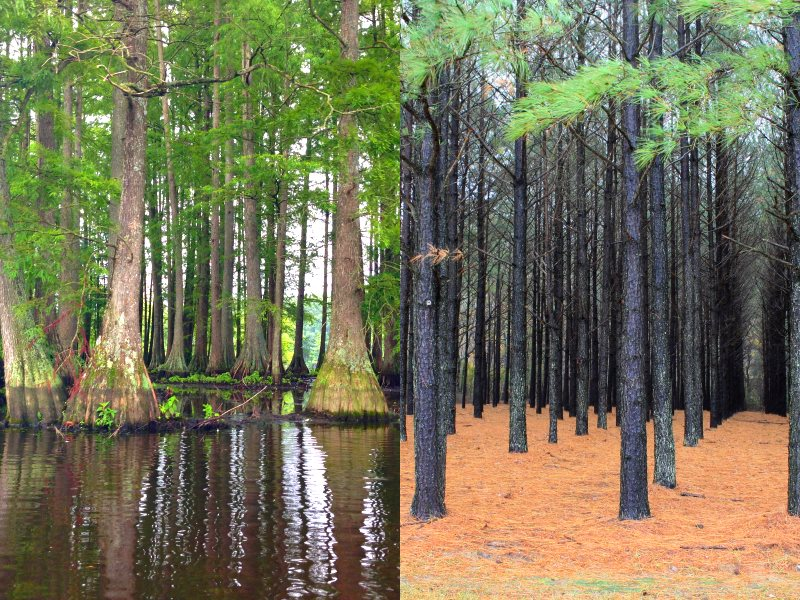 Before and after: natural wetland forest dominated by Swamp cypress, and an industrial plantation of Lolbolly pine. Both photos via Wikimedia Commons (see details on individual photos); amalgamation by The Ecologist (no rights claimed).