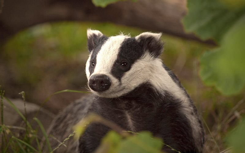 English badger. Photo: Kentish Plumber via Flickr (CC BY-NC-ND).