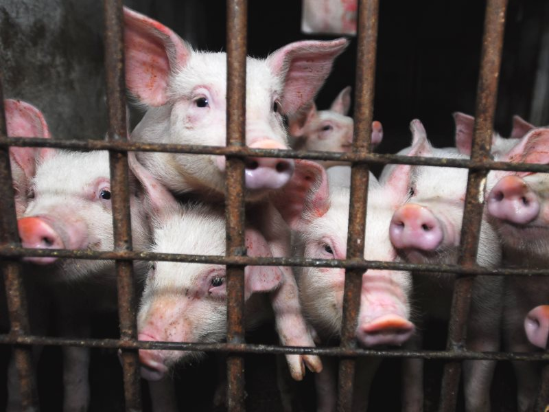 Piglets living in cruel and unhygienic conditions on a factory farm somewhere in the UK Photo: FarmsNotFactories.