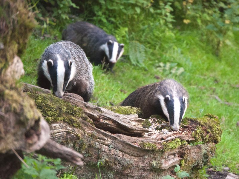 Welsh Badgers at Dinefwr Park, Llandeilo. Photo: Neil Schofield via Flickr (CC BY-NC).