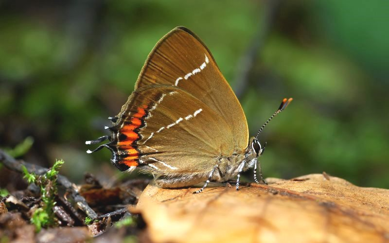 White-letter Hairstreak (Satyrium w-album), Parc de Woluwé, Brussels, Belgium. Photo: Frank Vassen via Flickr (CC BY).
