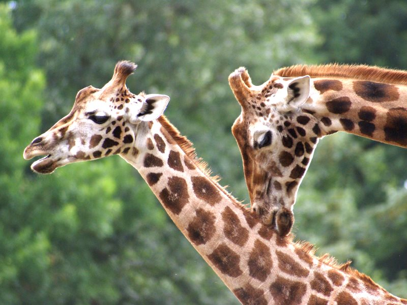All four species of giraffe are now classified as 'Vulnerable'. Photo: Maarten Nijman via Flickr (CC BY-SA).