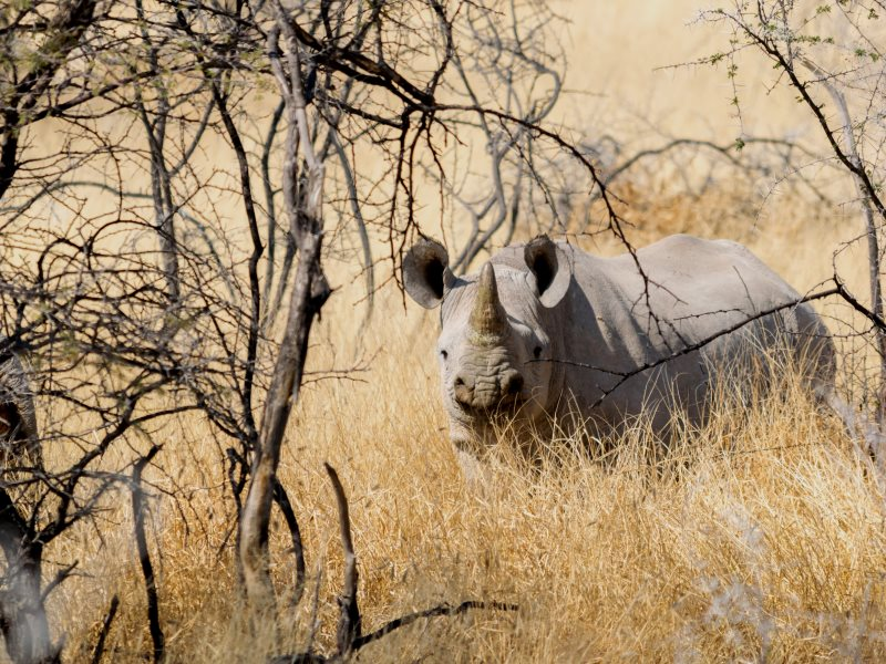 Endangered by the illegal trade in rhino horn, much of which is exported to China in a trade largely operated by Chinese citizens: White Rhino at Okaukuejo, Oshikoto, Namibia. Photo: Paolo Lucciola via Flickr (CC BY-NC-SA).