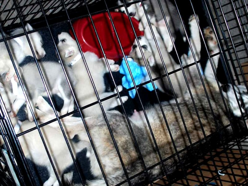 Cage in a 500-puppy puppy mill, raided by voluntary organisations on 8th July 2009. Photo: Josh Henderson via Flickr (CC BY-SA).