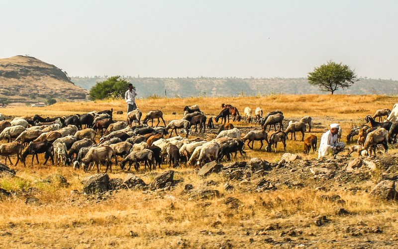 Cattle grazing in Maharashtra, India. With global warming, their forage will get tougher, and their methane emissions higher. Photo: Vijay Sonar via Flickr (CC BY).