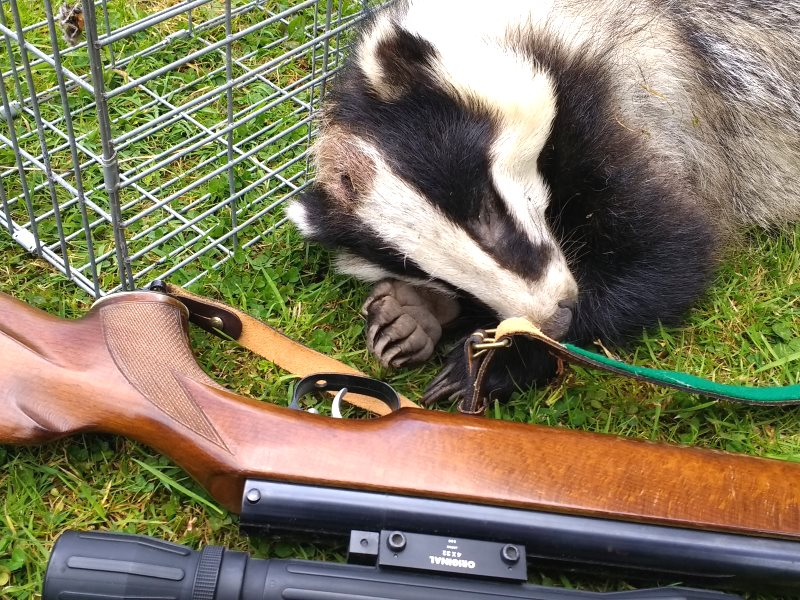 Another 100,000 English badgers could be shot because of fake science and faker statistics. Photo: Tom Langton. Note that no badgers died or suffered to produce this photograph!