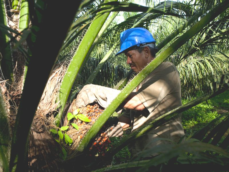No more jaguars here: a worker picks up African palm fruit for processing into palm oil from a young tree in Minas, Colombia, April 25, 2016. Photo: Carlos Villalon / Solidarity Center via Flickr (CC BY).
