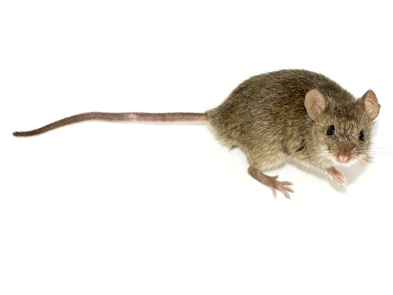 Were the mice in the 2001 Kumar study suffering from an oncogenic virus infection? There's no evidence that they were. Photo: Mouse (Mus musculus) by George Shuklin (talk) via Wikimedia Commons (CC BY-SA).