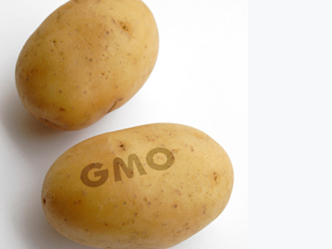 A GM potato