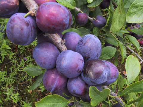 Plums at Brogdale farm