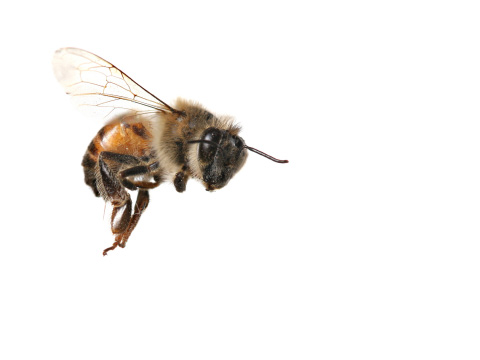 A bee in flight