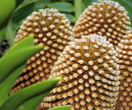 Eastern Cape giant cycad
