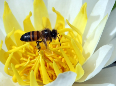 bee populations are in decline worldwide