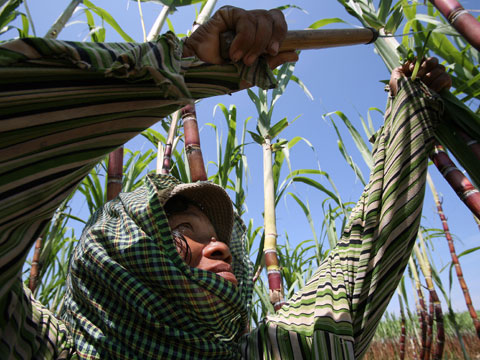 Cambodia sugar plantations