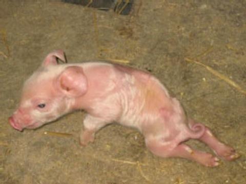 deformed pig