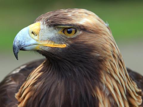 Golden eagles were among the birds killed by Duke's wind turbines.