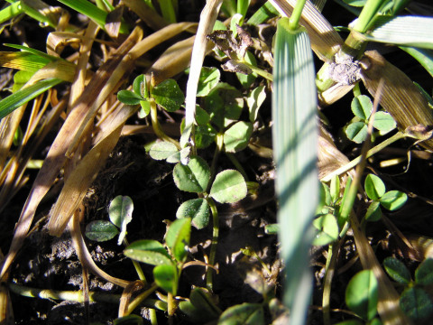 Clover and Fescue. Photo: David Bradbeer via Flickr.com.